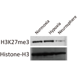 Histone H3K27me3 (Tri-methyl Lys27) antibody (GTX121184)