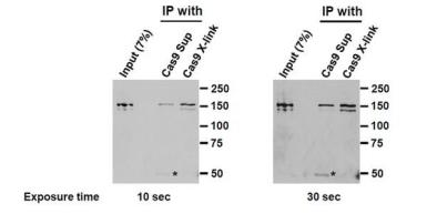 Anti-Cas9 antibody [7A9] used in Immunoprecipitation (IP). GTX53807